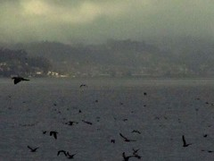 Oscura turba de nocturnas aves