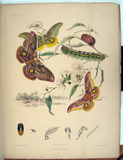 book illustration of butterflies by Scott siters