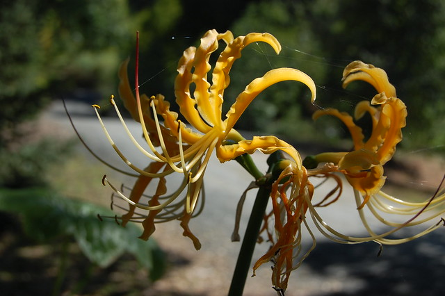 Lycoris aurea - Golden Spider Lily