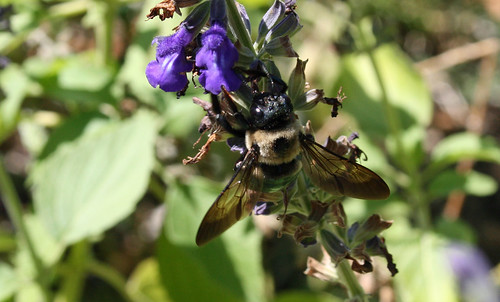 bee- possibly Eastern Carpenter Bee