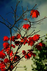 Autumn leaves on fire (*:.MaLcOlmLaNg.:*) Tags: blue autumn shadow red sky orange sunlight colour tree fall nature leaves gardens clouds scotland nikon branches vivid aberdeen filter nikkor f28 johnston hoya 18200mm polarising vr2 d7000