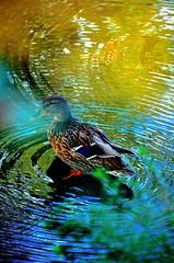 Autumn Duck (*:.MaLcOlmLaNg.:*) Tags: wood autumn reflection bird nature water beautiful gardens duck pond nikon stream colours natural feathers vivid tokina aberdeen filter ripples nikkor f28 johnston hoya 18200mm polarising vr2 1116mm d7000