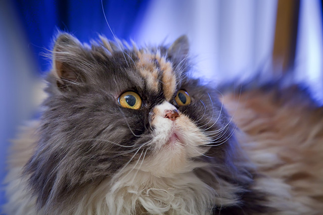 Etna, nuestra gata persa