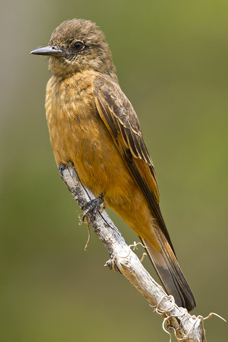 Cliff Flycatcher (Gibão de couro) by fabiorage