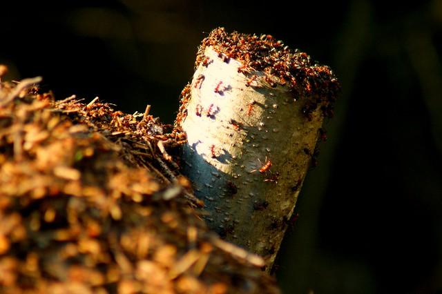 muurahaisia2