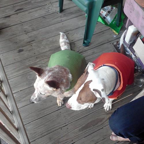 The doggies got vests
