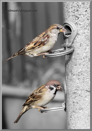 House and Tree Sparrows
