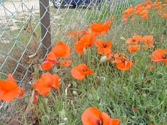 gien 2007 (micki.statiotis) Tags: fleurs coquelicots gien2007