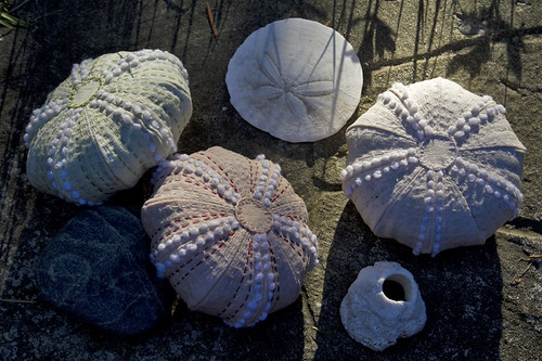 natural dyed urchins