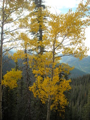 Aspen Tree with Golden Leaves - South San Juan Mountains