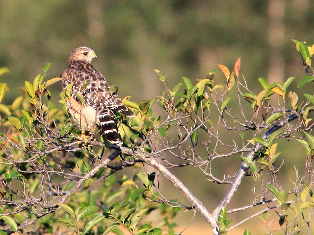 Red-shouldered Hawk 20111001