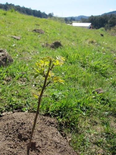 Robinia plantings