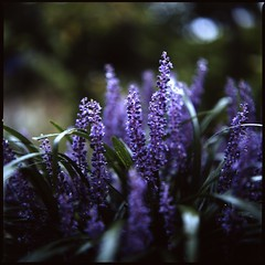 f2.8 in the Rain  (HASSELBLAD 500C/M) (potopoto53age) Tags: flowers plant flower 6x6 film rain japan zeiss mediumformat square rainyday purple f100 hasselblad squareformat carl  epson fujifilm provia nagano f28 planar purpleflowers openaperture  50cm lilyturf 80mm 500cm hassel obuse  liriope hasselblad500cm nont rdp3  bordergrass flickraward  epsongtx970 gtx970 awesomeblossoms betterscanning mygearandme  proxarb57 fujifilmproviaf100 dualmffilmholder betterscanningdualmffilmholder carlzeissplanar80mmf28nont f28intherain carlzeissproxarb5750cm