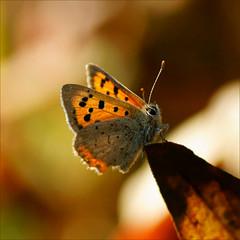 autumn butterfly..........maybe the last one (atsjebosma) Tags: autumn macro butterfly garden october ngc thenetherlands npc colourful tuin groningen vlinder 2011 topshots natureselegantshots atsjebosma thebestofmimamorsgroups