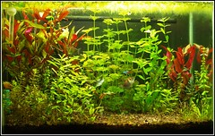 Getting There. (- Bree -) Tags: light red plants fish black green water female dark real aquarium october neon tank natural background july free skirt sae clear tetra algae betta fixture 2010 planted aquaticlife flourite indica 2011 rotala seachem cabombia ludginia tellius
