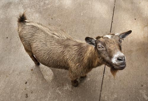 cutest goat