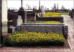 Climbing the Cemetery Hill. (syam C) Tags: flowers cemetery yellow brighton path bricks australia victoria graves 1855 gravestones osteospermum seniorsweek canona710 coffeeshopaction atticvintage ~~api~~ adamlindsaygordontour