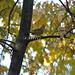 P9254790 Sept 25 Tennesse warbler