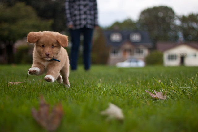 Introducing... Denver the Duck Toller!