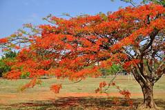 Flamboyant (Claudio Marcon) Tags: trees red flores nature cores natureza vermelho explore flamboyant cor árvores colorido flowerscolors redflamboyant