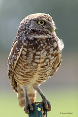 Burrowing Owl (Athene cunicularia) (Sharon's Bird Photos) Tags: nature florida wildlife ngc athenecunicularia burrowingowl browardcounty diurnal supershot topshots specanimal natureselegantshots explored394oct132011