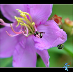 Macro's Bee'sy.....e Weekend! (Kenny Teo (zoompict)) Tags: light news flower macro reflection art water beautiful closeup canon wonderful lens photo yahoo google photographer view bees best getty droplet kenny zoompict eos5dmark2 kennyteo singaporelowerpiercereservoir