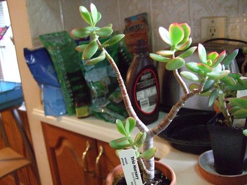 Crassula.Sunset10-16-11