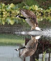 Mirrored Landing (pheαnix) Tags: canada bird minolta g sony flight goose apo 300mm tc delaware f4 hs 14x a700 beckspond dblringexcellence tplringexcellence eltringexcellence