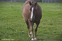 OnTheNorthFork_0076 (Heather Lefo) Tags: horses longisland winecountry longislandbeaches heatherlefort