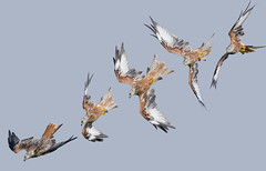 Composite Red Kite Dive ... EXPLORED (Gareth Scanlon) Tags: uk blue autumn red summer sky orange white kite black milan bird animal yellow composite wales photoshop ed rouge grey fly nikon carmarthenshire tail boda flight september 300mm raptor end if prey nikkor stoop gareth scanlon f4 royale milvus milvusmilvus barcud rotmilan of brynamman wildlfife d300s garethscanlon wennol ralon
