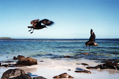 Falklands skuas (mark_fr) Tags: ocean green church lady port army island islands bay san arch elizabeth christ cathedral dolphin south navy plymouth antarctica charles carlos goose atlantic mount southern stanley cooper fox whale bone fi ajax raf pleasant fic hemisphere ajay hms caracara mpa skua falkland whalebone jhelum catharacta commersons
