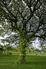 Old Tree  (olvwu | ) Tags: tree grass garden cambodia sihanoukville vine jungpangwu oliverwu oliverjpwu sokha sokhabeachresort olvwu jungpang