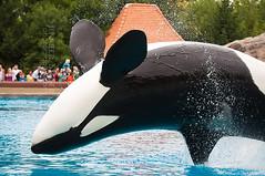 Ikaika Back Bow (Jennifer Stuber) Tags: canada niagarafalls dolphin whale orca killerwhale marineland friendshipcove marinelandcanada splashsession