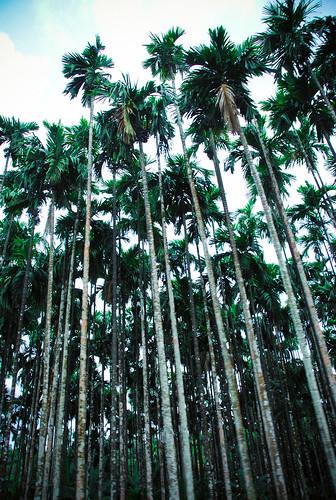 Palm groves