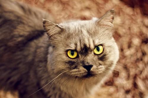 [フリー画像] 動物, 哺乳類, 猫・ネコ, 201109152300