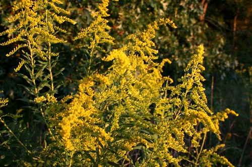 Goldenrod2Sept2011