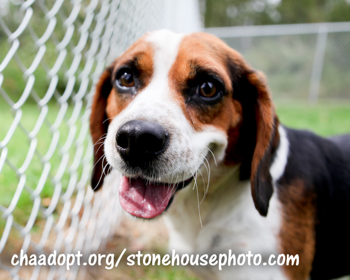 Laverne is a Beagle for Adoption