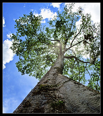 touch the sky.. (PNike (Prashanth Naik)) Tags: blue sky sun sunlight tree leaves forest nikon asia cambodia pov branches perspective bark sunburst siemreap touching d7000 pnike