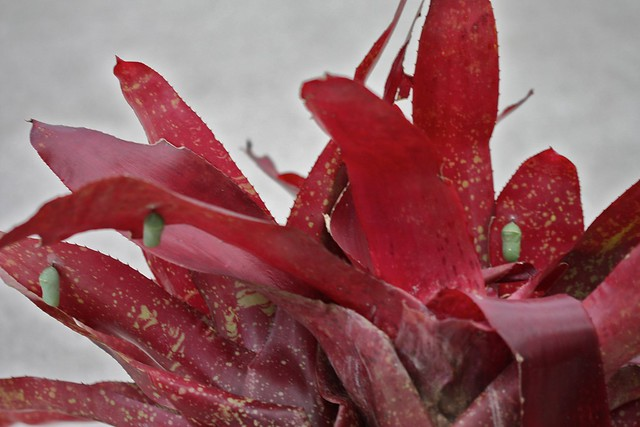Neoregelia 'Sheer Joy' with Monarch chrysalises