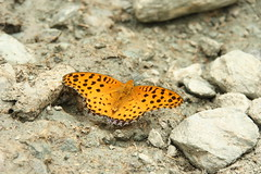Butterfly in tiger colours