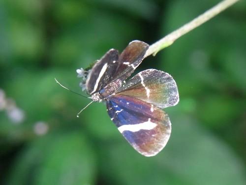 ハチノジクロナミシャク