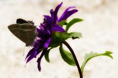 Butterfly Ooty