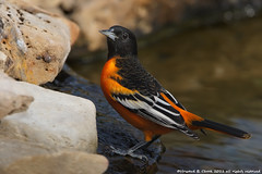 """Rocky"" Baltimore Oriole (HowardCheekPhotography.com) Tags: nature birds canon photography texas cheek howard wildlife rocky baltimore blackbirds songbirds oriole icterus galbula nbw icterid photocontesttnc12"