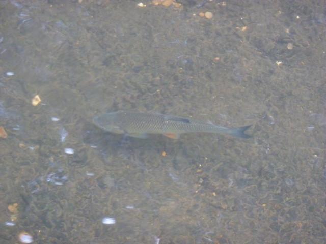 Fish swimming in Beverley Brook