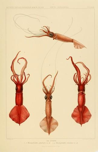 017-Die Cephalopoden 1910- Carl Chun