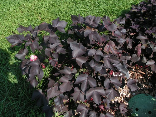 Black Cotton with Foliage