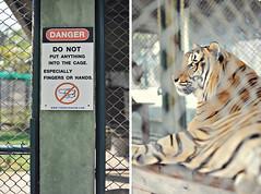 tiger kingdom 05 (The Manchiks) Tags: animals thailand zoo stripes cage tigers chiangmai bigcats tigerkingdom