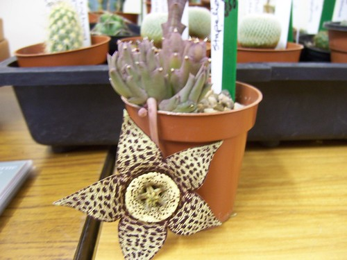 September Meeting - Haworthias with Stirling Baker - stapelia in bloom