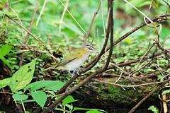 juruviara / Vireo olivaceus / Red-eyed Vireo (Luiz Álvaro) Tags: aves ave vireo redeyed olivaceus juruviara