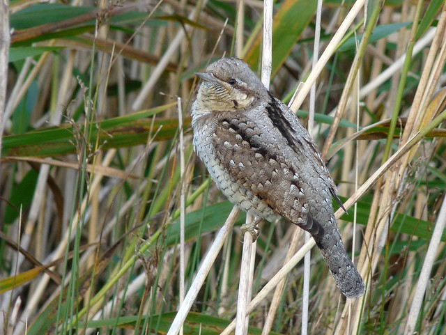 25063 - Wryneck, Newport Wetlands